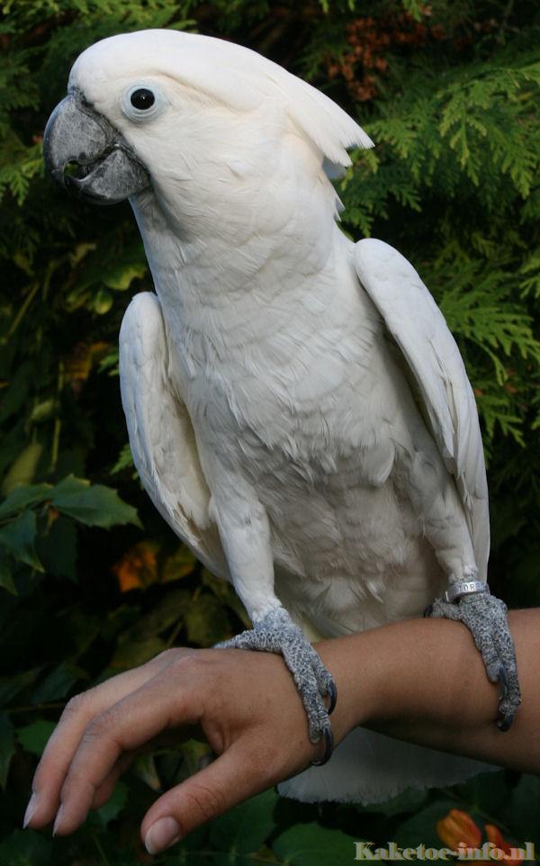 White cockatoos sex