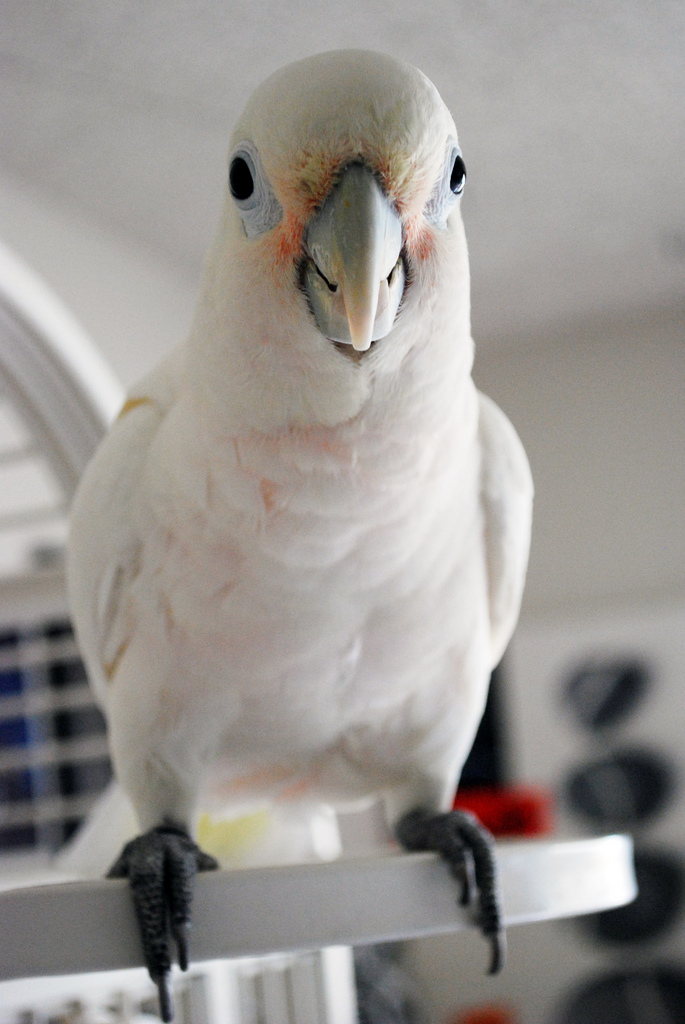 And Male and female pink cockatoos
