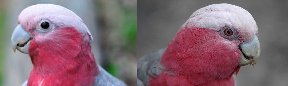 Male and female pink cockatoos were not