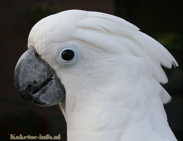 Head of an Umbrella cockatoo